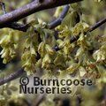 Small image of CORYLOPSIS