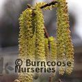 CORYLUS avellana 'Contorta' 