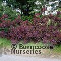 Small image of COTINUS