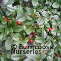 COTONEASTER dammeri  
