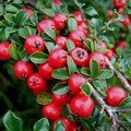 COTONEASTER horizontalis  