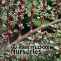 COTONEASTER horizontalis 'Variegatus' 