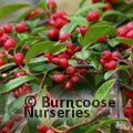 Small image of COTONEASTER
