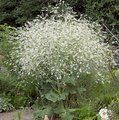 Small image of CRAMBE