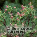 Small image of CRASSULA