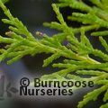 CUPRESSUS macrocarpa 'Goldcrest'