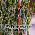 Small image of CUPRESSUS