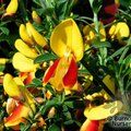 Small image of CYTISUS