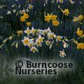 DAFFODILS Cornish Naturalising Mixture