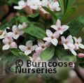 DAPHNE burkwoodii 'Somerset' 