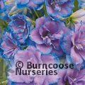 DELPHINIUM 'Wishful Thinking'