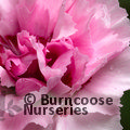 Small image of DIANTHUS