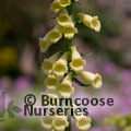 Small image of DIGITALIS