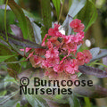 DODONEA viscosa 'Purpurea'