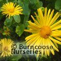 Small image of DORONICUM