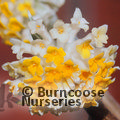Small image of EDGEWORTHIA