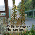 Small image of EREMURUS