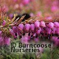 HEATHERS Erica carnea 'Eva' 