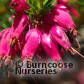 HEATHERS Erica carnea 'Myretoun Ruby' 