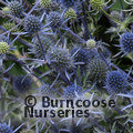 Small image of ERYNGIUM