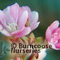 ESCALLONIA 'Peach Blossom'