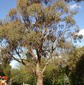 EUCALYPTUS nicholii  