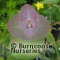 Small image of EUCALYPTUS
