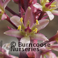 Small image of EUCOMIS