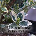 EUONYMUS fortunei 'Emerald Gaiety' 