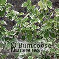 EUONYMUS fortunei 'Harlequin' 