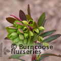 Small image of EUPHORBIA