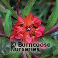 Euphorbia griffithii Fireglow 