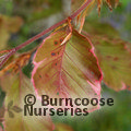 Small image of FAGUS