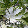 Small image of FATSIA