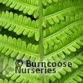 Small image of FERN - see HARDY FERNS