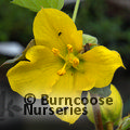 Small image of FREMONTODENDRON