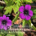 GERANIUM 'Ann Folkard'  