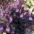 GERANIUM pratense 'Midnight Reiter' 