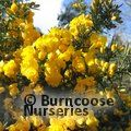 Small image of GORSE - see ULEX