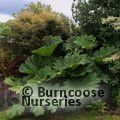 GUNNERA manicata  