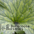 Small image of GUNNERA