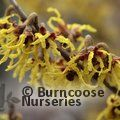 HAMAMELIS x intermedia 'Arnold Promise' 