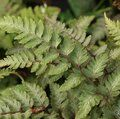HARDY FERNS Athyrium niponicum 'Red Beauty'