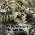 HARDY FERNS Athyrium niponicum var. pictum