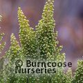 HEATHERS Erica arborea 'Estrella Gold' 