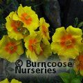 Small image of HELIANTHEMUM