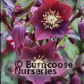 HELLEBORUS orientalis 'Blue Lady' 