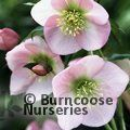 HELLEBORUS orientalis 'Pink Lady' 