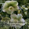 HELLEBORUS orientalis 'Yellow Lady' 