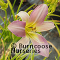 HEMEROCALLIS 'Catherine Woodbery'